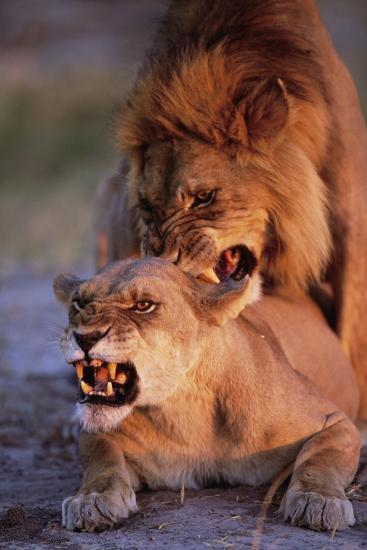 Lions Snarling While Mating-Paul Souders-Photographic Print