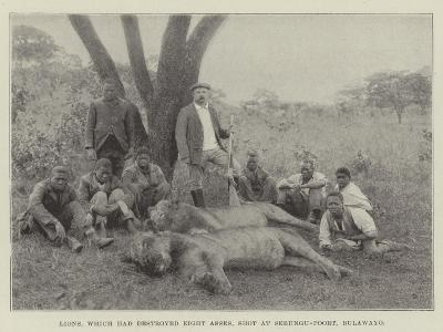 Lions, Which Had Destroyed Eight Asses, Shot at Sebungu-Poort, Bulawayo--Giclee Print