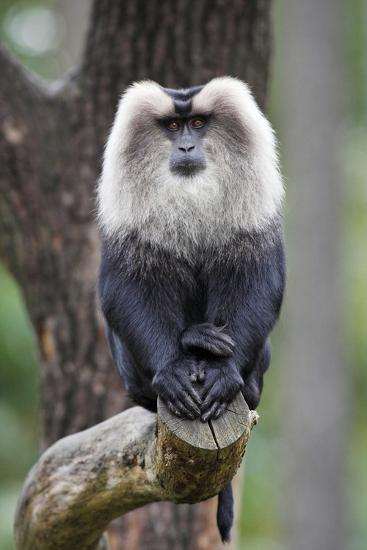 Liontail Macaque Male Sitting on Branch--Photographic Print