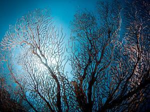 Fan Coral and Sunburst, St. Lucia, West Indies, Caribbean, Central America by Lisa Collins