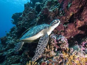 Green Turtle (Chelonia Mydas) with Remoras Rachyucentron Canadum), Sulawesi, Indonesia by Lisa Collins