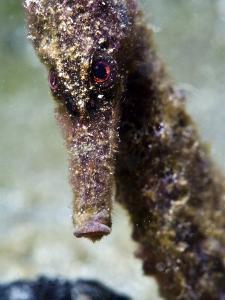 Longsnout Seahorse (Hippocampus Reidi), Uncommon to Caribbean, St Lucia, West Indies by Lisa Collins