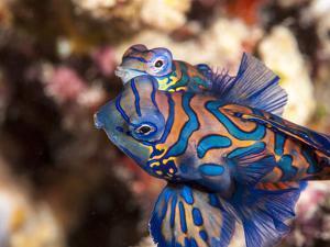 Mandarinfish (Synchiropus Splendidus) Mating, Sulawesi, Indonesia, Southeast Asia, Asia by Lisa Collins
