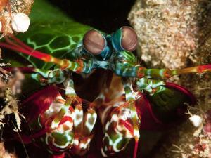 Mantis Shrimp (Odontodactylus Scyllarus), Sulawesi, Indonesia, Southeast Asia, Asia by Lisa Collins