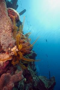 Reef Scene with Feather Star, Dominica, West Indies, Caribbean, Central America by Lisa Collins