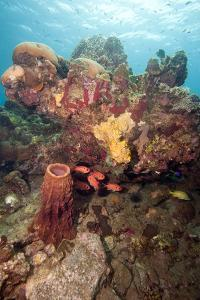 Reef Scene with Soldier Fish, Dominica, West Indies, Caribbean, Central America by Lisa Collins