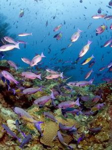 School of Creole Wrasse (Clepticus Parrae), St. Lucia, West Indies, Caribbean, Central America by Lisa Collins