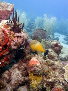 White Spotted Filefish (Cantherhines Macrocerus), St Lucia, West Indies, Caribbean, Central America by Lisa Collins