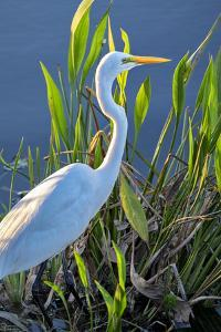 Great White Egret, Florida, USA by Lisa Engelbrecht