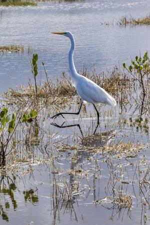 Great white egret wading, Merritt Island nature preserve, Florida, USA