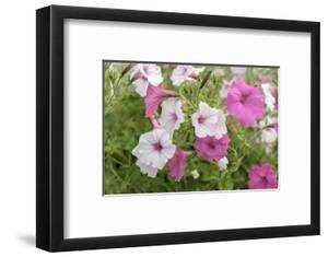 Pink and white petunias, USA by Lisa Engelbrecht