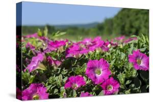 Pink Petunias, New England, USA by Lisa Engelbrecht