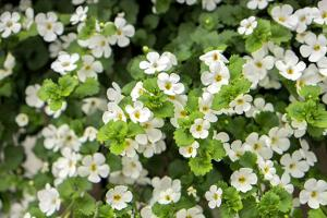 White Bacopa, USA by Lisa Engelbrecht