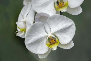 White orchid, USA by Lisa Engelbrecht