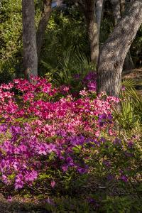 Azalea Flowers, Edgewater Landings, Florida, USA by Lisa S. Engelbrecht