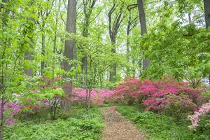 Azalea Woods, Winterthur, Delaware, Usa by Lisa S. Engelbrecht