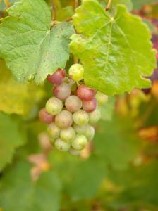 Beaujolais White Grapes in Autumn, Burgundy, France by Lisa S. Engelbrecht