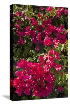 Bougainvillea Flowers, Grand Cayman, Cayman Islands, British West Indies