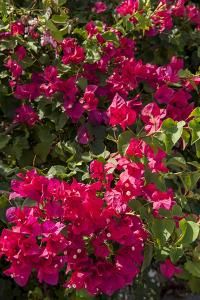 Bougainvillea Flowers, Grand Cayman, Cayman Islands, British West Indies by Lisa S^ Engelbrecht