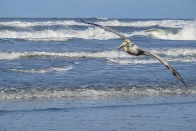 Brown Pelican flying, New Smyrna Beach, Florida, Usa