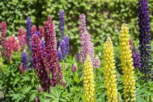 Colorful Lupines, USA by Lisa S. Engelbrecht