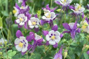 Columbine Flowers, Usa by Lisa S. Engelbrecht