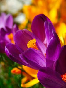 Crocus, Reading, Massachusetts, USA by Lisa S. Engelbrecht