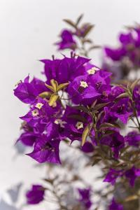 Europe, Portugal, Obidos, Bougainvillea by Lisa S^ Engelbrecht