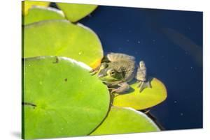 Frog On Lily Pad, Usa by Lisa S. Engelbrecht