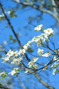 Georgia, Savannah, Flowering Dogwood by Lisa S. Engelbrecht