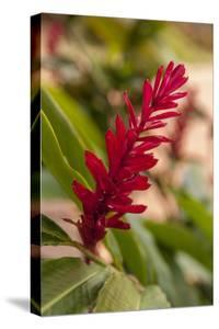 Ginger Flower, Carambola Botanical Gardens, Roatan, Honduras by Lisa S. Engelbrecht