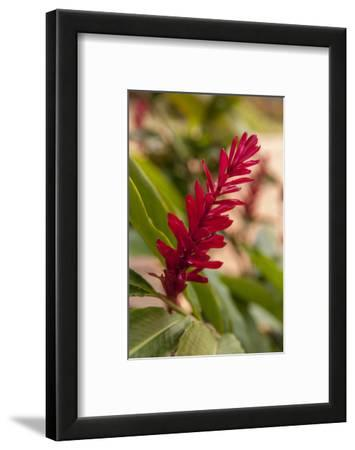 Ginger Flower, Carambola Botanical Gardens, Roatan, Honduras