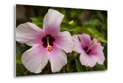 Hibiscus Tropical Flowers, Roatan, Honduras