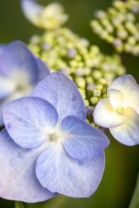 Massachusetts, Reading, Blue Lacecap Hydrangea by Lisa S. Engelbrecht