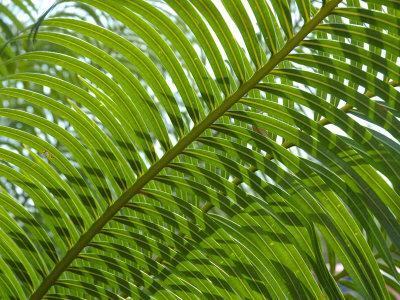 Palm Fronds, Florida, USA