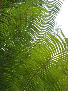 Palm Fronds, Florida, USA by Lisa S. Engelbrecht