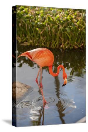 Pink Flamingo, Bavaro, Higuey, Punta Cana, Dominican Republic