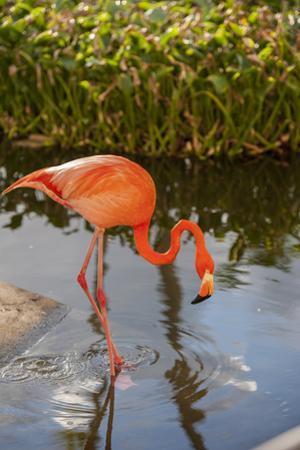 Pink Flamingo, Bavaro, Higuey, Punta Cana, Dominican Republic by Lisa S. Engelbrecht