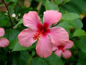 Pink Hibiscus Flower by Lisa S. Engelbrecht