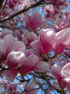 Pink Magnolia Blossoms and Cross on Church Steeple, Reading, Massachusetts, USA by Lisa S. Engelbrecht