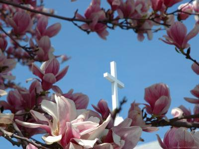 Pink Magnolia Tree and Church Steeple, Reading, Massachusetts, USA