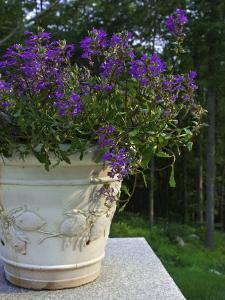 Purple Potted Flowers, Marshfield, Massachusetts, USA by Lisa S. Engelbrecht