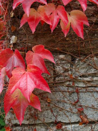 Red Ivy Growing on Stone Wall, Burgundy, France by Lisa S^ Engelbrecht