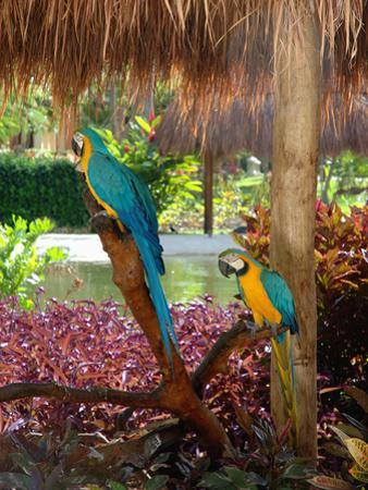 Two Blue and Gold Macaws Perched Under Thatched Roof by Lisa S^ Engelbrecht