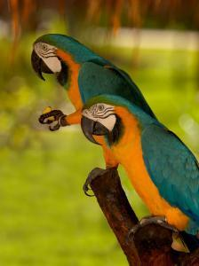 Two Blue and Gold Macaws by Lisa S. Engelbrecht