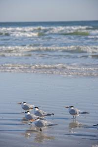 USA, Florida, New Smyrna Beach, Royal Terns on beach. by Lisa S. Engelbrecht