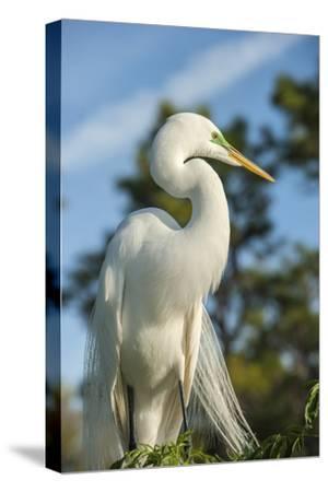USA, Florida, Orlando. Great Egret at Gatorland.