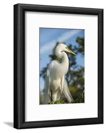 USA, Florida, Orlando. Great Egret at Gatorland.