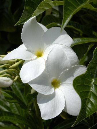 White Flowers on Palm Beach, Aruba