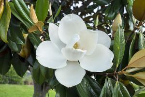 White Magnolia blossom, Florida, USA by Lisa S. Engelbrecht